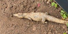 Krokodil hinter Hausmüllcontainern entdeckt