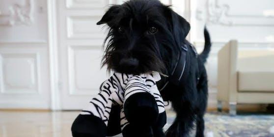 """Struppi"", der Hund von Ministerin Edtstadler"