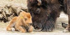 Niedliches Bison-Mädchen verzaubert Schönbrunn Besucher