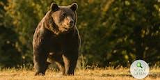Steirer erschoss größten Bären Europas!