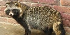 Marderhunde können das Corona-Virus übertragen