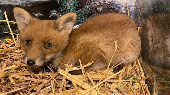 """Der kleine Fuchs wird jetzt von Markus Putzgruber vom Verein """"RespekTurtle"""" aufgezogen."""