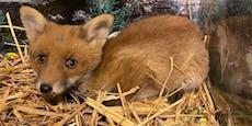 Verwaistes Fuchsbaby tauchte bei Familie im Garten auf