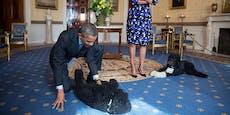 "Obamas trauern um Familienhund ""Bo"""