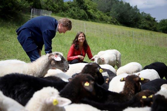 Die Rasenmäher im Wollmantel sind im Sommer im Norden der Wiener Donauinsel im Mäh-Einsatz. Umweltstadträtin Ulli Sima (SPÖ) begrüßt die tierischen Mitarbeiter zu ihrer bereits dritten Saison.