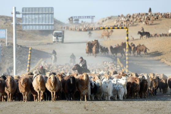 Wo der Mensch in den Lebensraum von Wildtieren noch dazu mit Viehzucht eindringt, ist die Gefahr einer neuerlichen Pandemie besonders hoch.