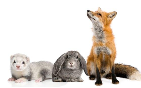 Die beliebtesten Pelze sind nach wie vor Fuchs, Nerz und Kaninchen.