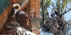 Brütendes Kaiseradlerweibchen nahe Tulln angeschossen