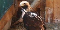 Angeschossener Adler durfte wieder in die Lüfte abheben