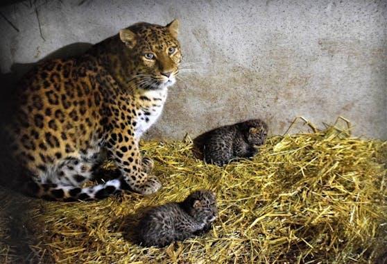 Leoparden Nachwuchs