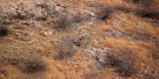 Perfekt getarnt - Findest du den Leoparden?
