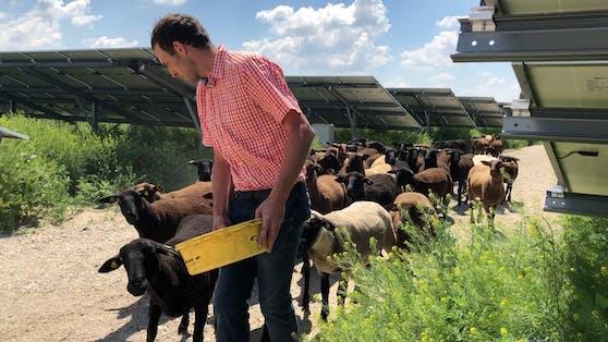 In der Photovoltaikanlage Schafflerhof hat die Schafherde eine Heimat gefunden.