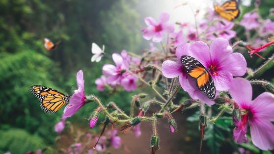 Mit ein paar Tricks bietest du Schmetterlingen auf Balkon und im Garten einen herrlichen Rastplatz.