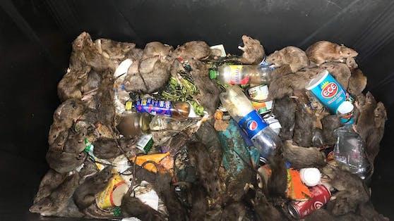 Zahlreiche Ratten tummeln sich in dem Müllcontainer.