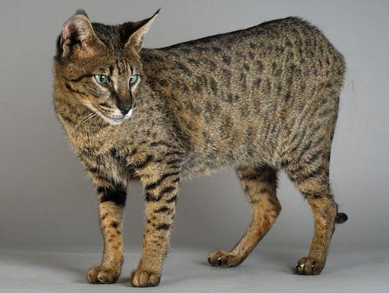 Wunderschön, aber leider eine Zwangskreuzung: Die Savannah-Katze