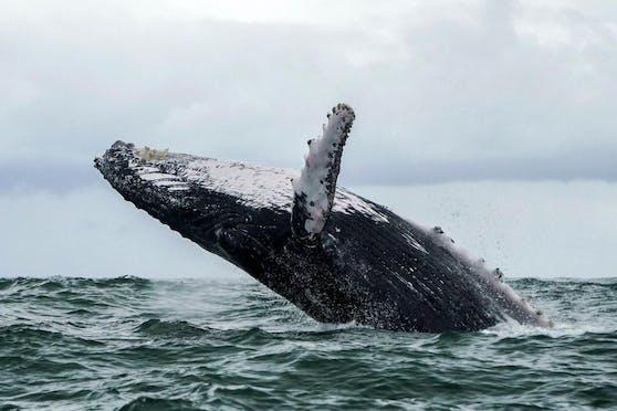 Buckelwale können bis zu 15 Meter groß werden.
