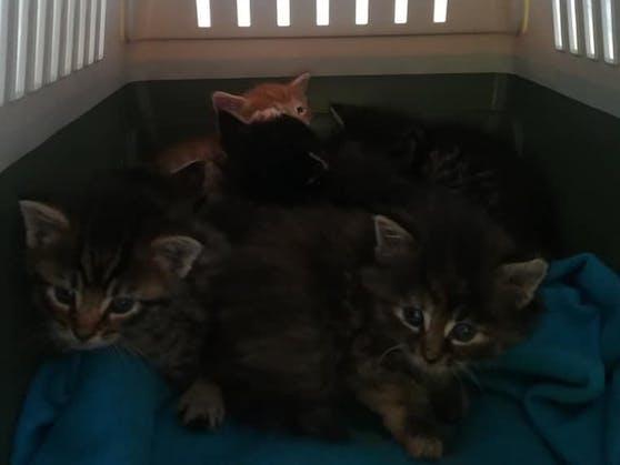 Sechs kleine Babykatzen wurden gerettet.