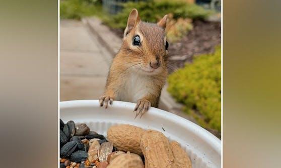 Das ist Streifenhörnchen Charlie. Er ist verfressen, folgsam und ein Instagram-Sternchen.