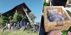 Aus Nest gefallen: Feuerwehr rettet drei Falken-Küken