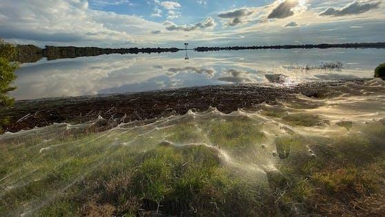 Nach einer heftigen Überschwemmung im australischen Traralgon, waren tausende Webspinnen damit beschäftigt, ihre Netze über die Vegetation zu spinnen um weiter nach oben zu gelangen.