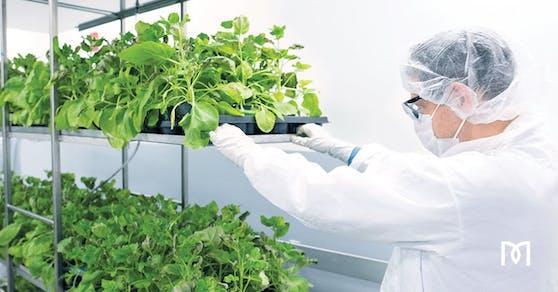 Die Forschenden nutzen die Blätter einer nahen Verwandten der Tabakpflanze – Nicotiana benthamiana – als Bioreaktoren, um einen Corona-Impfstoff herzustellen.