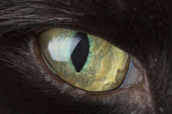 Wir präsentieren euch heute den tödlichsten Jäger aller Katzen.