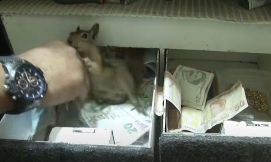 """""""Putz di!"""" Eichhörnchen """"Memocan"""" bewacht die Geld-Schublade eines türkischen Juweliers."""