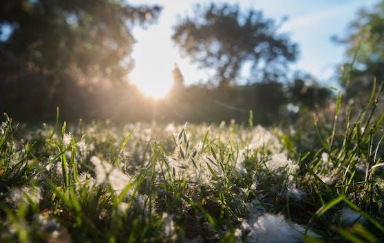 Die Samenfasern der Pappeln (Populus) fliegen aktuell in Unmengen umher und sehen aus wie dicke weiße Schneeflocken.