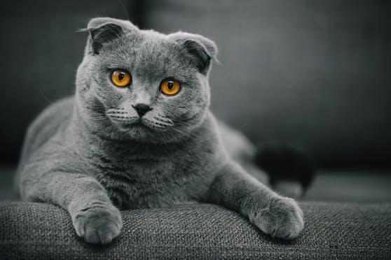 So niedlich und SO krank! Die Faltohrkatzen sind bei uns strengstens verboten.