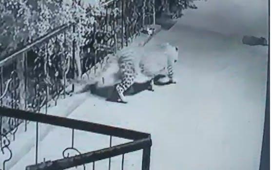 Das Hundebaby hatte nicht den Hauch einer Chance. Auf leisen Sohlen schlich sich der Leopard auf die Terrasse.