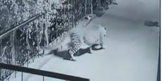 Leopard schleicht sich an Hundebaby heran und...