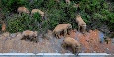 Elefanten spazieren durch China und niemand weiß, warum