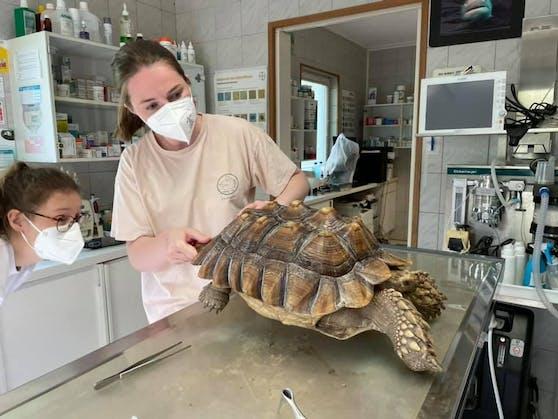 Die Spornschildkröte wurde ordentlich durchgecheckt.