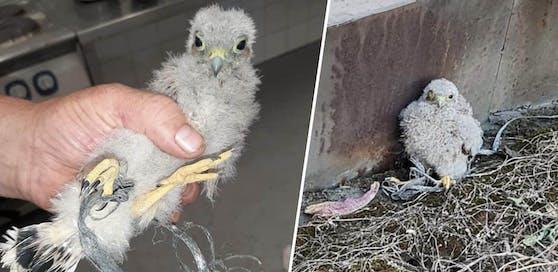 Die Tierrettung befreite den Jungvogel aus seiner misslichen Lage.