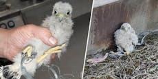 Draht wurde für Baby-Falken fast zur Todesfalle