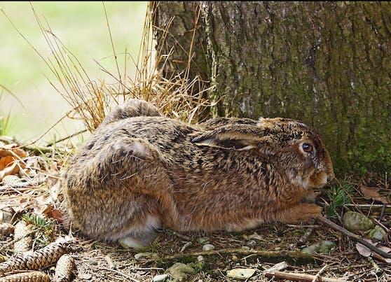 Wieder wurde ein Hase getötet und an einen Baum genagelt.