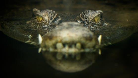 Ein Mann aus Indonesien soll Krokodile häufig mit Hunden gefüttert haben - nun wurde er selbst gefressen.