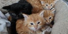 Vier kleine Katzenkinder in St. Pölten gerettet