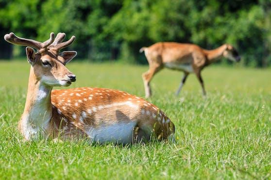 Rehe stellen laut Forstamt der Stadt Wien kein Problem für den Lainzer Tiergarten dar und dürfen bleiben.