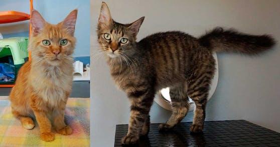 Die beiden Maine Coon Katzen Donna und Amando werden gerne auf Schultern getragen.