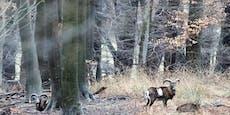 Feuer frei!Jagdsaison im Lainzer Tiergarten eröffnet