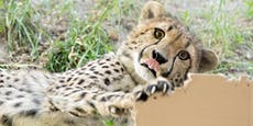 Geparden-Vierlinge bekommen Kartons zum 1. Geburtstag