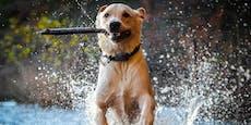 Giftig für den Hund! Hitze begünstigt Blaualgen
