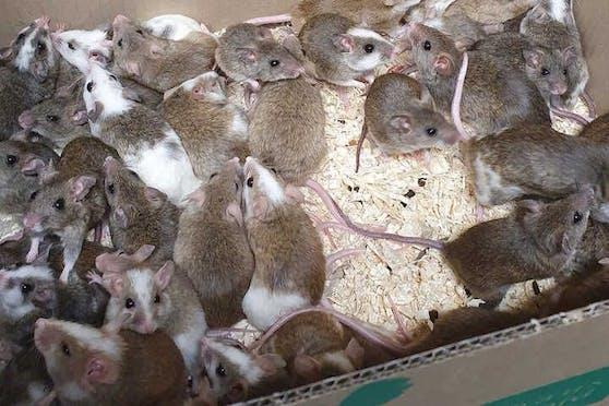 Etwa 35 Mäuse und vier Ratten wuselten in dem Karton umher.