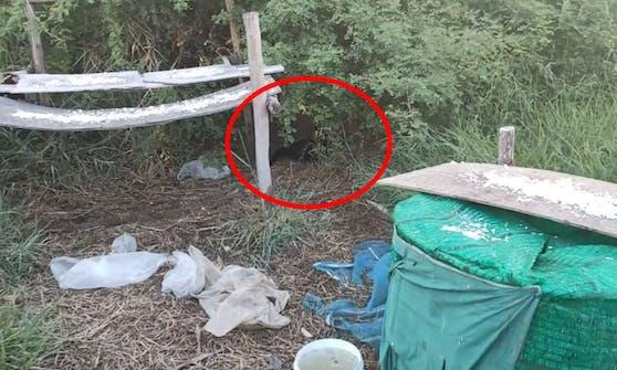 Der Python zog das Kätzchen schon fest umschlungen ins Gebüsch...