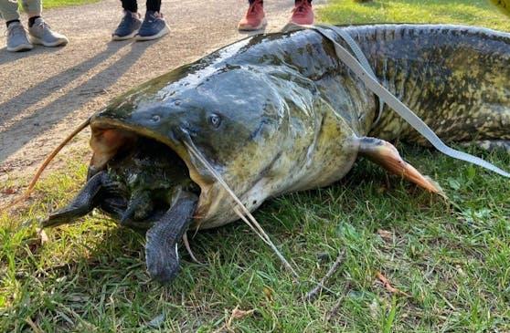 In Göttingen zogen Fischer einen Wels aus einem See, der sich an einer Schildkröte verschluckt hatte.