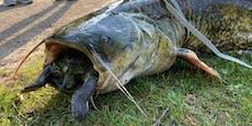 Riesen-Wels frisst Schildkröte – jetzt sind beide tot
