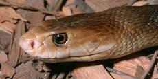Häftling hatte giftigste Schlange der Welt daheim