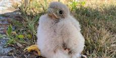 Jungfalke plumpste aus Nest, Florianis retteten ihn
