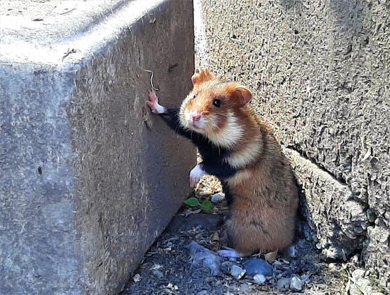 Der kleine Feldhamster erholt sich in Haringsee.